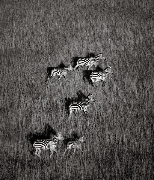 Zebras on the Serengeti Plain