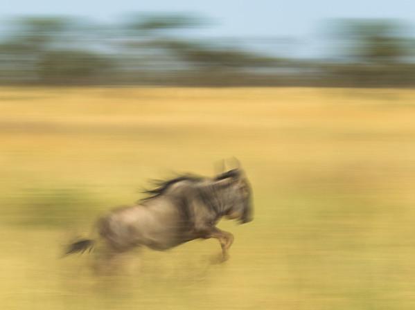 Wildebeest Jump