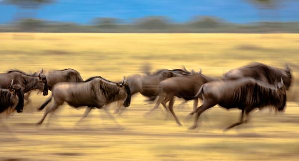 Wildebeast Run - Serengeti National Park