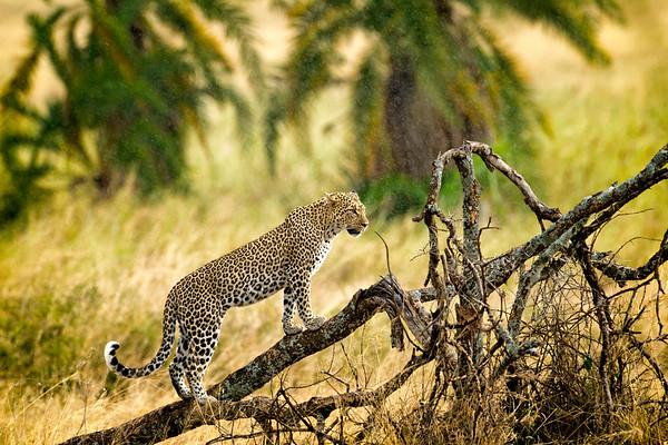 Leopardess in the Rain