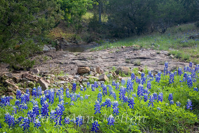 Texas Hill Country Bluebonnets