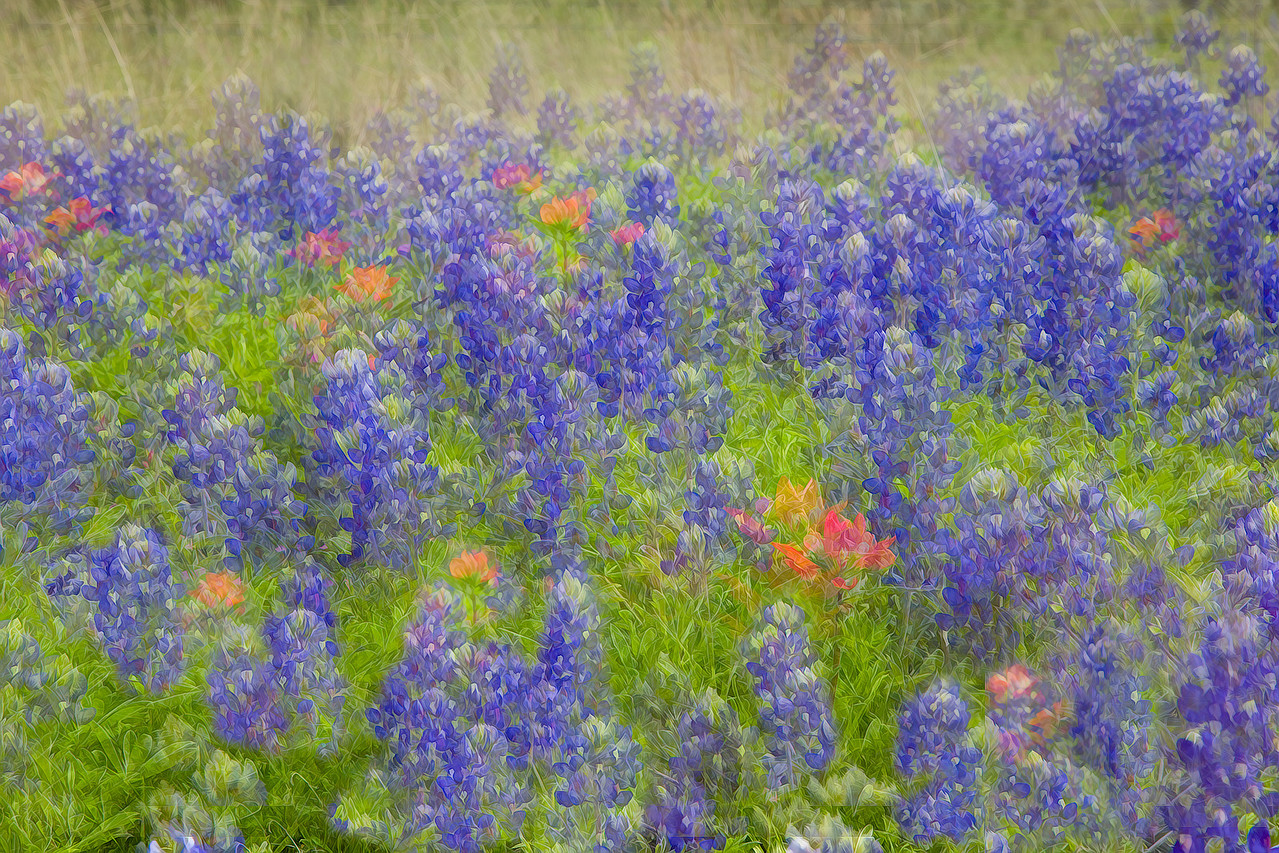 Texas bluebonnets and Indian paintbrush