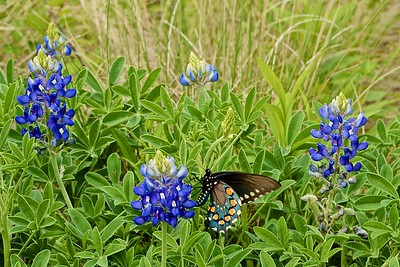 Pipevine Swallowtail and Bluebonnets
