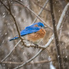 Bluebird in a Flurry