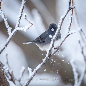 20191217-121207 Junco in tree