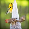 Finch Feeding Frenzy