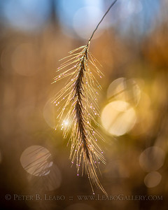 Dew on Fall Grasses