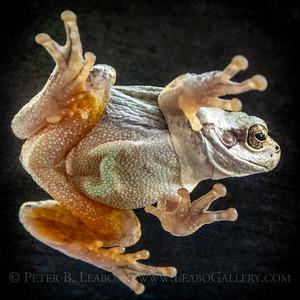 Tree Frog on Glass