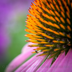 Echinacea with Water Drop