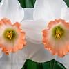 20160330-182246 daffodils-Edit