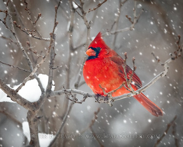 20191216-121942 Cardinal in tree in snow