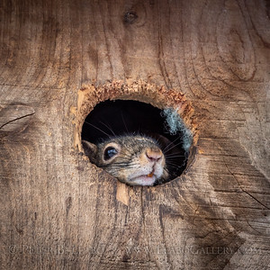 Squirrowl