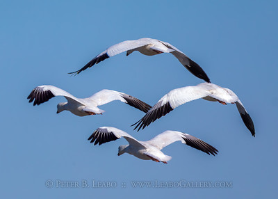 Snow Geese Formation