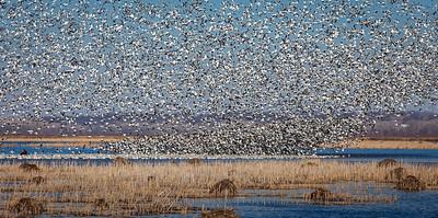 Sky Full of Geese