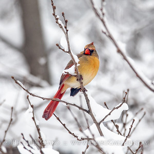 Cardinal in a Winter's Wood