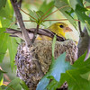 Goldfinch Nesting