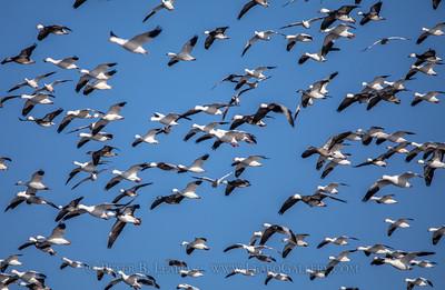 Snow Geese Landing Pattern