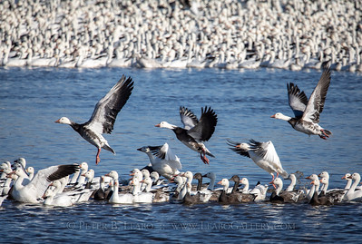 Snow Geese on the Move