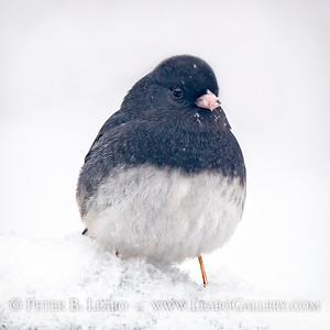Junco in Snow