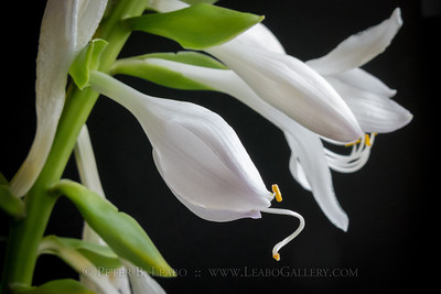 Hosta Bloom Opens