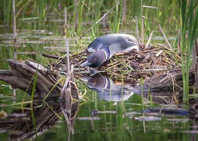 Loon on Nest