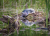 20140623-184350 WI loon on nest