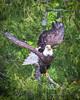 20160606-082251 eagle