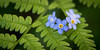 20160603-063457 forget-me-nots and ferns