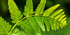 20150602-123006 Wisconsin ferns