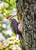 20150603-120007 Pileated woodpecker