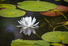 20160702-145714 WI - water lilies in thoroughfare