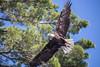 20160702-143855 WI - Eagle
