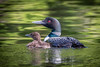 20150727-080711 WI loon with babies