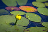 20160702-153304 WI - water lilies in thoroughfare
