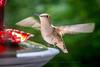 20150707-095650 WI Hummingbirds