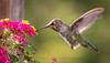 20140918-163316 Hummingbird
