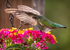 20140918-163319 Hummingbird-2-Edit