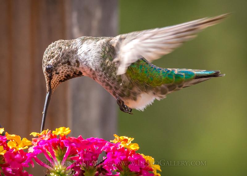 20140918-163318 Hummingbird