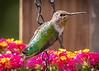 Hummingbird on Lantana