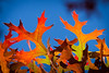 20141026-100940 Petaluma fall color
