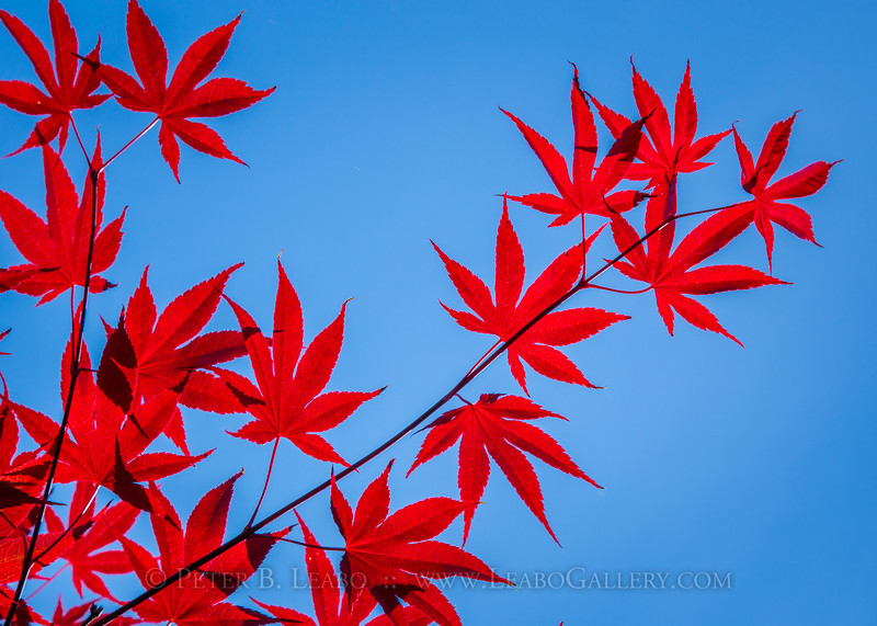 Bright red Japanese maple leaves are contrasted by the blue sky