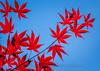Red Leaves, Blue Skies