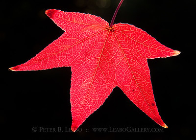 Sweetgum Fall Color