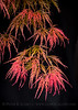 Lace leaf Japanese maple fronds hang delicately after a spring rain