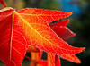Sweetgum fall color foliage in northern California