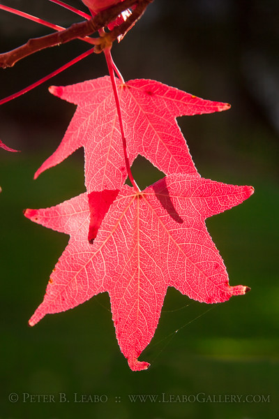 FINAL FLAMES OF FALL -- The leaves of a sweetgum tree in Petaluma glow brightly in the late afternoon sun.
