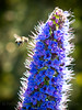 A bee, well laden with blue pollen, makes its way from flower to flower on a bush blooming in Petaluma, CA