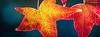 20141101-112215 Petaluma fall color