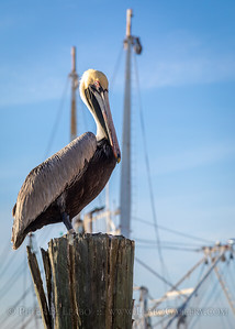 Brown Pelican Awaits Catch