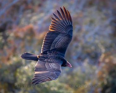20191119-164454 turkey vultures in Aransas Wildlife Refuge